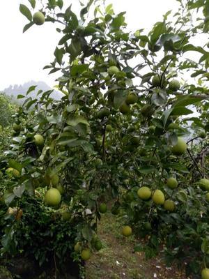 这是一张关于北京柠檬 1.6 - 2两的产品图片