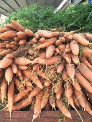 山东聊城长红胡萝卜 10~15cm 5两以上 5cm以上