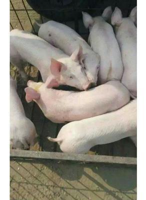 山东临沂长白猪 60斤以上