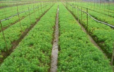 贵州黔西杉木树苗