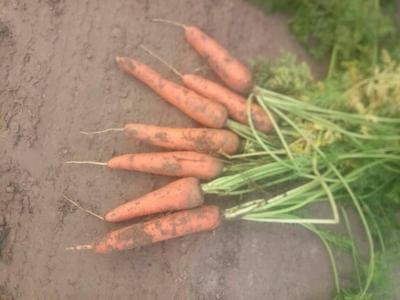 河南开封三红红萝卜 0.2~1斤