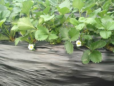 山东青岛甜宝草莓 20克以上
