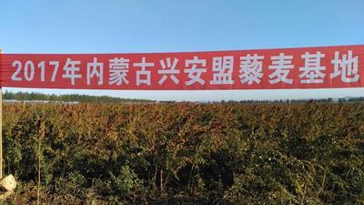 内蒙古自治区兴安盟扎赉特旗藜麦种子