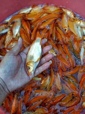 广西南宁红鲤鱼 人工养殖 0.05龙8国际官网官方网站