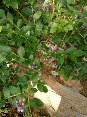 山东泰安薄雾蓝莓 鲜果 4 - 6mm以上