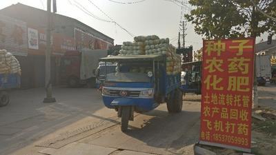 河南商丘夏邑大白菜 3~6斤 净菜