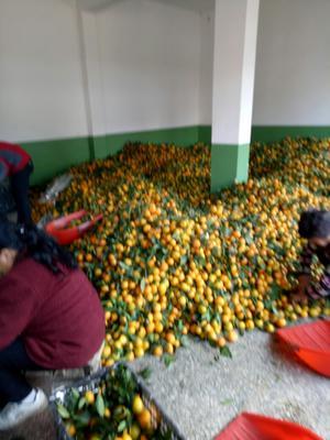 这是一张关于城固蜜橘 6 - 6.5cm 2 - 3两的产品图片