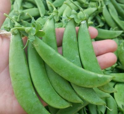 云南保山荚豆 4~5cm