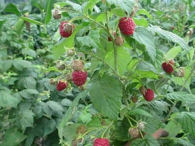 这是一张关于四季红树莓苗的产品图片