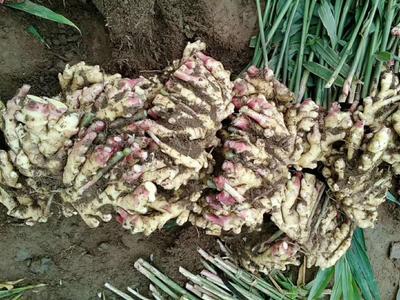 这是一张关于小黄姜 带土 2两以上的产品图片