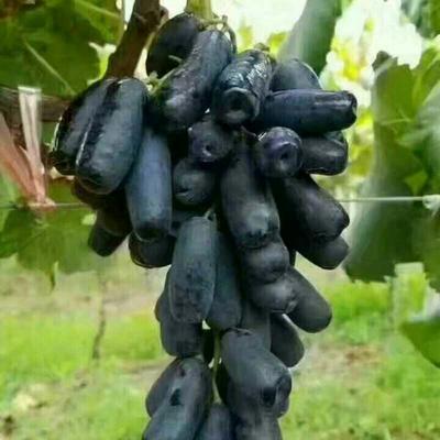 这是一张关于甜蜜蓝宝石葡萄苗的产品图片