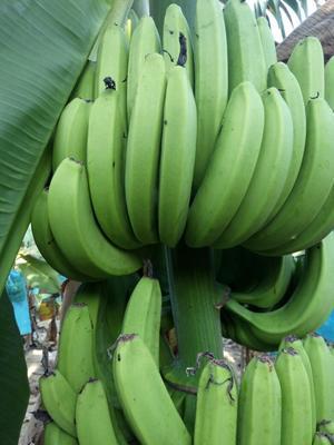 广西钦州广西蕉 七成熟 50 - 60斤