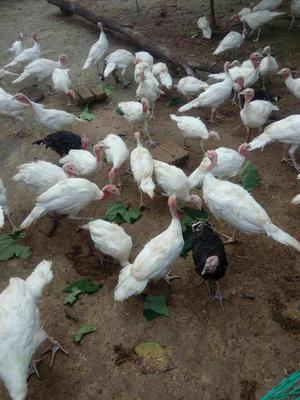 山东德州尼古拉火鸡 15-20斤