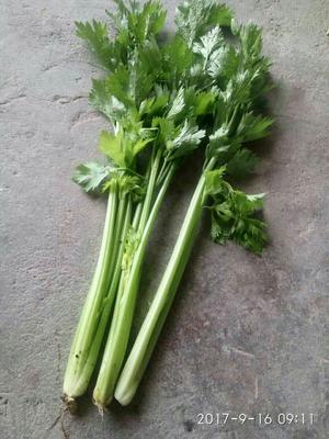 辽宁省锦州市黑山县铁杆芹菜 50~55cm 大棚种植 0.5斤以下