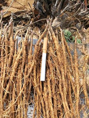 山西运城油用牡丹种苗 2cm以下 4cm以下 0.5米以下