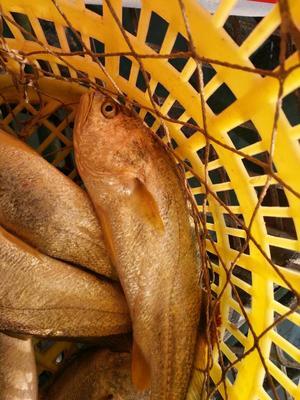 浙江台州大黄鱼 野生 1-1.5公斤