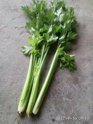 辽宁省锦州市凌河区铁杆芹菜 50~55cm 大棚种植 0.5斤以下