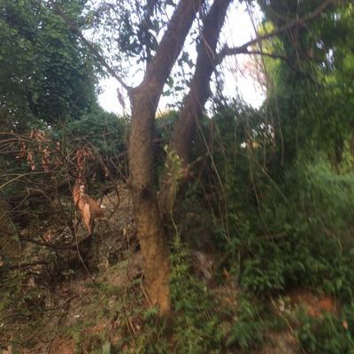 广东广州增城区丛生朴树