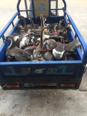 这是一张关于黑棕鹅 统货 8-10斤的产品图片
