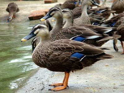 湖北武汉斑嘴鸭