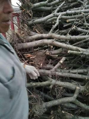 安徽宿州砀山县苹果树 苹果树