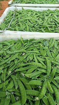 贵州毕节荚豆 8~9cm