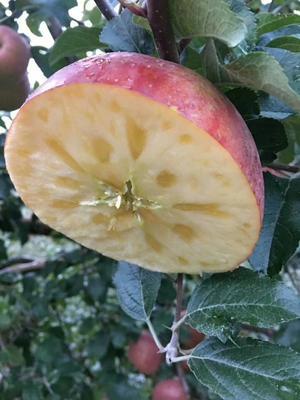 四川凉山盐源苹果 光果 片红 75mm以上