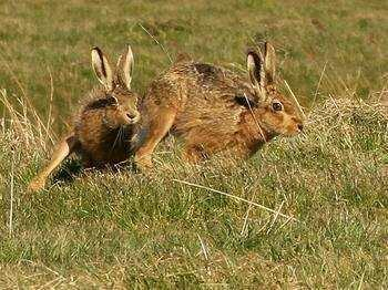 甘肃兰州七里河区山地野兔