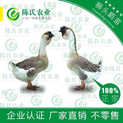 广西南宁狮头鹅苗 品种优良-成活高-抗病强-包疫苗运输存活