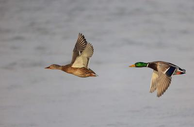黑龙江哈尔滨绿头鸭