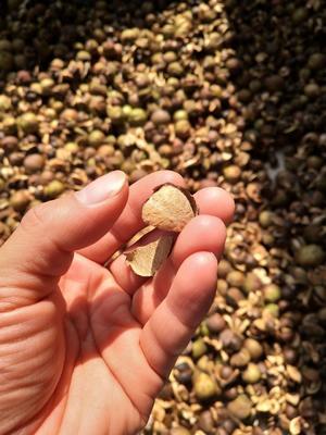贵州黔东野山茶籽