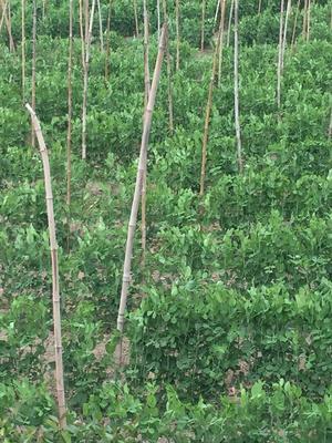 福建莆田荚豆 8~9cm