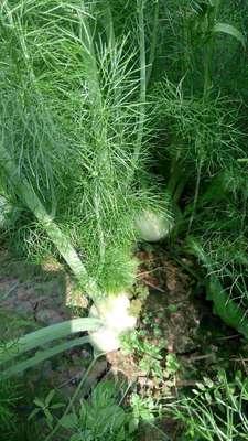 北京顺义区球茎茴香