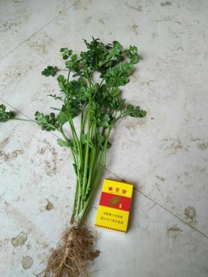 山东青岛大叶香菜 25~30cm