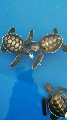 江苏无锡海龟苗 海龟苗