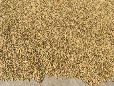 这是一张关于y两优9918再生稻 晚稻的产品图片