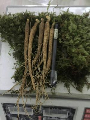 这是一张关于园参 鲜参的产品图片
