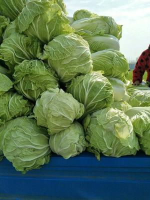 河南商丘青杂三号白菜 6~10斤 毛菜
