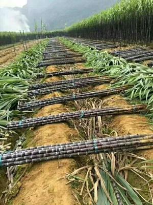 这是一张关于大灰种甘蔗 2.5 - 3m 5 - 6cm的产品图片