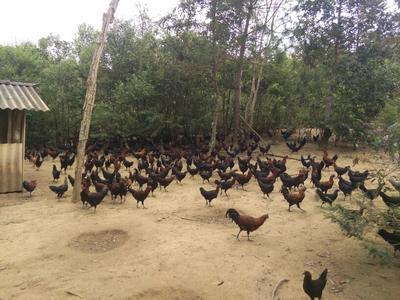 云南西双版纳黑羽乌鸡 3-4斤