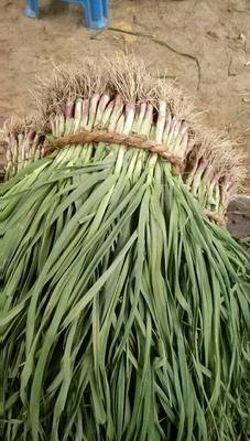 江苏盐城红根蒜苗 50 - 60cm