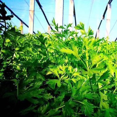 山东省济南市章丘市章丘鲍芹 60cm以上 大棚种植 0.5~1.0斤
