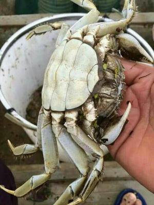广东珠海洪湖螃蟹 3.0-3.5两 公蟹