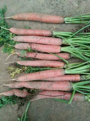 陕西渭南秤杆红萝卜 10~15cm 2两以下 3cm以下