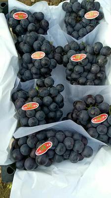 辽宁锦州巨峰葡萄 5%以下 1次果 1-1.5斤