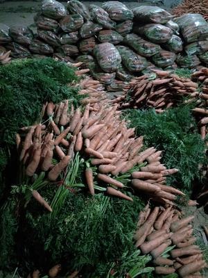 山东聊城三红胡萝卜 15cm以上 3两以上 3~4cm