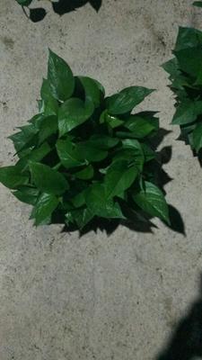 广东广州荔湾区绿萝吊兰 30~50cm