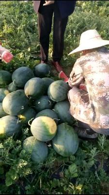 广东湛江无籽西瓜 无籽 2茬 8成熟 4斤打底
