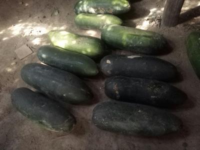 河南省周口市淮阳县子弹头黑皮冬瓜 20斤以上 黑皮