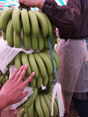 广西南宁广西蕉 七成熟 40 - 50斤
